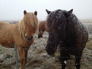Health issues in horses due to snow