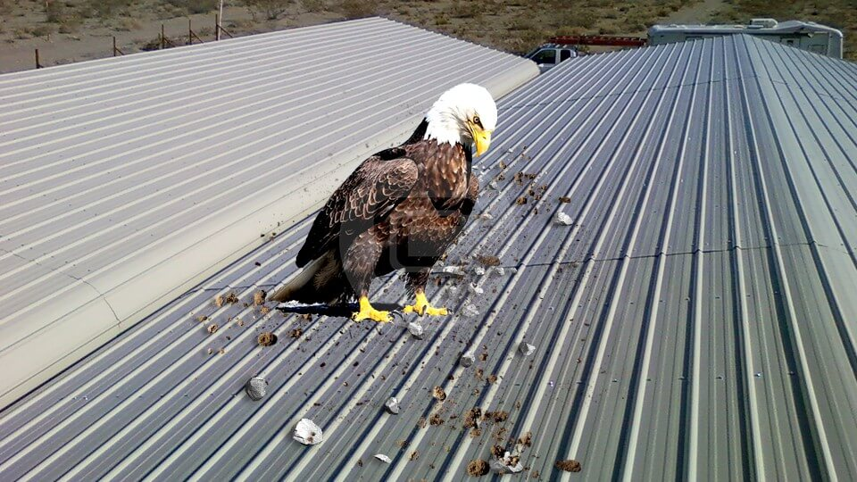 Eagles & Buildings - Prevent Your Carport From Becoming a Nesting Ground